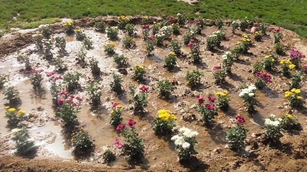 آغاز کاشت گلهای فصلی پاییزه در سطح شهر